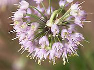 Ornamental Onion Flower