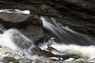 A Great Blue Heron (Ardea herodias) fishing in the Rideau River in Ottawa, Ontario, Canada.  Photographed in Hog's Back Park just downstream from Hog's Back Falls.
