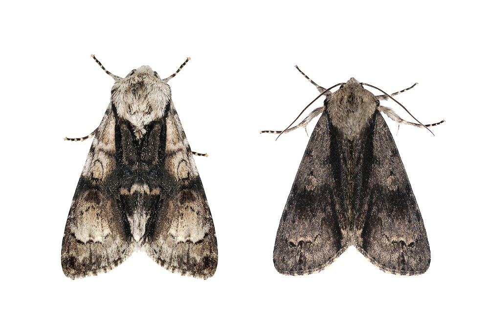 73.036 (2281)<br /> Alder Moth - Acronicta alni