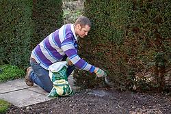 Feeding a yew hedge with granular fertiliser. Taxus baccata