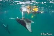two snorkelers reach down to touch a manta ray, Manta alfredi (formerly Manta birostris ), feeding on plankton, Hanifaru Bay, Baa Atoll, Maldives ( Indian Ocean )