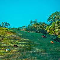 Horses graze on a hillside in the California East Bay Area, near Lafayette.