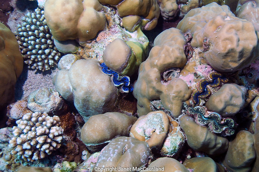 Giant Clams (Tridacna gigas) grow wedged between boulder corals in the Maldives.