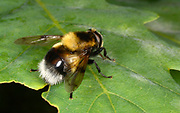 Close-up of a female Bumblebee mimic hoverfly (Volucella bombylans) resting on a leaf in a Norfolk woodland habitat in summer