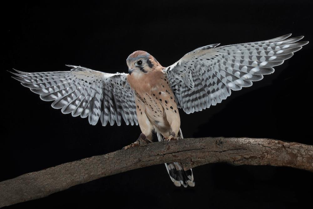 Kestrel (Falco tinnunculus), captive
