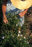Plucking jasmins at Biancalana factory
