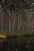 "Slightly foggy and calm morning on bog woodland with pines (Pinus sylvestris) on coast of lake ""Bezdibenis"", nature reserve ""Kārķu purvs"", Vidzeme, Latvia Ⓒ Davis Ulands   davisulands.com"