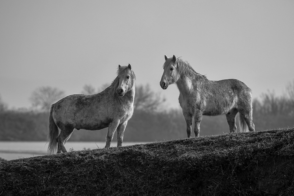 High Quality Fine Art Prints <br /> Camargue horses, photo taken at Cona Island, Italy <br /> <br /> <br /> 20 x 30 cm - Numbered Limited Edition of 25 <br /> 30 x 45 cm - Numbered Limited Edition of 25 <br /> 50 x 75 cm - Numbered Limited Edition of 12<br /> <br /> Printed at professional lab in Milan on Hahnemühle Photo Rag papers.<br /> <br /> They all come signed and numbered.<br /> <br /> Frame NOT included.<br />  <br /> Shipment<br /> Make sure that the address of delivery is correct and that you have given all the elements necessary to identify the exact delivery address (name/number on the intercom, preferred delivery times, staircase, unit/suite, mobile phone number for quick contact, etc).<br /> Once the print is ready, It will be shipped via courier and you will receive a tracking number. Please allow up to one week to fulfil the order plus 2 to 5 business days for delivery (depending on location).<br /> <br /> Handling the print <br /> On receipt, take care in removing it from the cardboard or the tube. I recommend that you take it straight to a framer to ensure optimal condition. Each print has a white paper border to allow the framer to handle the print and for protection during transport.<br /> <br /> Prices<br /> Pricing is for print only. Frame is only for illustration purpose and NOT included. Sizes other than those listed are available on request. Framing options are also available on request. As these are Limited Editions, prices may rise as availability decreases.<br /> <br /> Returns<br /> In the unfortunate event that the print arrives damaged (and that you can show that it was damaged before arrival), please make contact and send it back to me within 14 days, I will replace it on receipt of the damaged print back to me.<br /> <br /> Message me for questions about crops, sizes, papers, prints, deliveries or framing. <br /> Email: pcruciatti@gmail.com or whatsapp +39.335.6263208