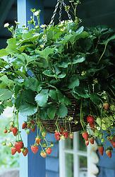 A strawberry hanging basket