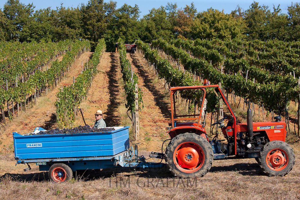 Man loading trailer with harvested San Giovese Chianti Classico grapes at Pontignano in Chianti region of Tuscany, Italy