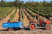 Man loading trailer with harvested San Giovese Chianti Classico grapes at Pontignano in Chianti region of Tuscany, Italy