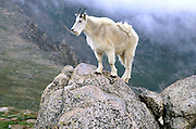 Mountain goat (oreamnos americanus) perches on rock near summit of Mount Evans, Colorado