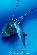 Spot, a wild, lone, sociable bottlenose dolphin, Tursiops truncatus, at bow of wreck of Russian destroyer M/V Captain Keith Tibbets, Cayman Brac, Cayman Islands ( Caribbean Sea )