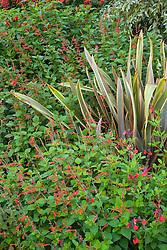 Salvia elegans, Pineapple sage,  with Phormium cookianum subsp. hookeri 'Tricolor'