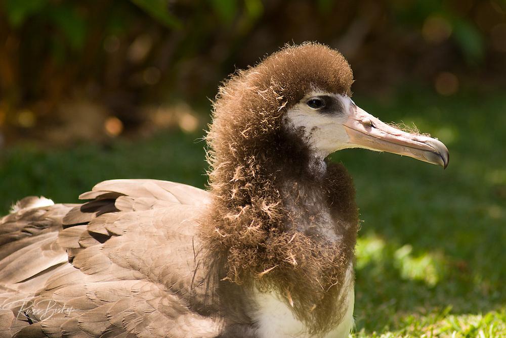 Albatross, Island of Kauai, Hawaii