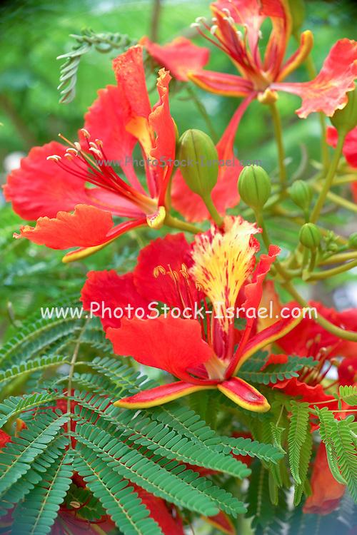 flowering Royal Poinciana or Flamboyant tree (Delonix regia)