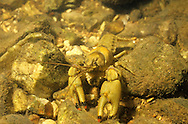 Ringed Crayfish<br />