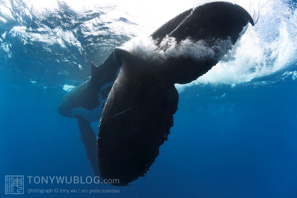Male humpback whale swishing his fluke at the ocean surface during an action-packed heat run involving six adult male humpback whales, a female humpback and her calf. Note the turbulence and cavitation created by the tremendous power of the whale's fluke. Photographed in Tonga.