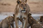 A  female lioness (Panthera leo) standing while nursing her cubs, Savuti, Botswana