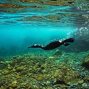 Flightless cormorant (Phalacrocorax harrisi) diving under water Isabela Island, Galapagos, Ecuador.