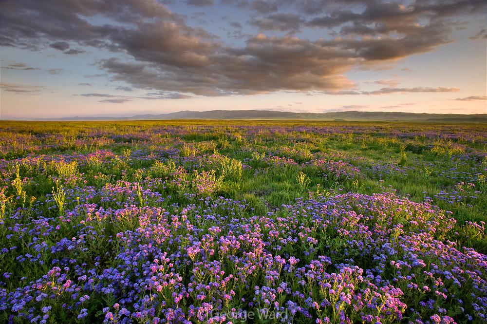 Phacelia at Sunset, Carrizo Plain National Monument, California