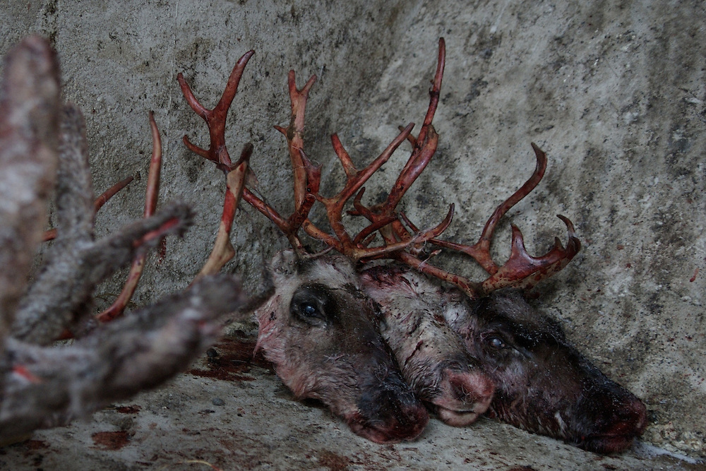 Hirvas Salmi, FINLAND. October 20, 2007- Reindeer heads covered in snow are discarded outside of the slaughterhouse. Five herders slaughter 300 reindeer on the fourth day of the roundup. Workers earn £.40 per reindeer in a gruelling day?s work.