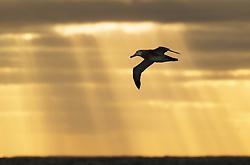 Antipodean Albatross (Diomedea antipodensis) near Chatham Islands, New Zealand
