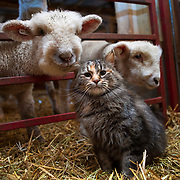 """January lambs greet """"Elsa"""" in the lamb barn at Temple Farms in Serena, Illinois. Brad Temple is a fifth generation farmer and has been lambing ever since he was eight years old. Nathan Lambrecht/Journal Communications"""