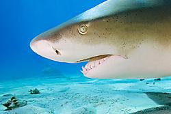Lemon Shark, Negaprion brevirostris, West End, Grand Bahama, Atlantic Ocean.