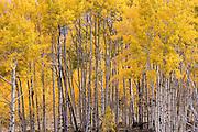 Autumn Aspens on the Boulder Mountain in Utah