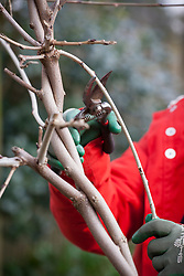Winter pruning of a wisteria. Cutting side shoots back to 2 or 3 buds with secateurs