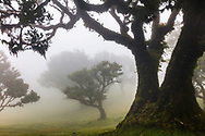 Laurel trees in a misty forest