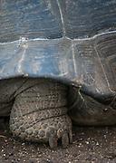 Giant Tortoise, Isabella Island. Galapagos, Ecuador, South America