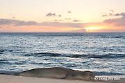 Hawaiian monk seal, Monachus schauinslandi, Critically Endangered endemic species, at sunset, west end of Molokai, Hawaii ( Central Pacific Ocean )