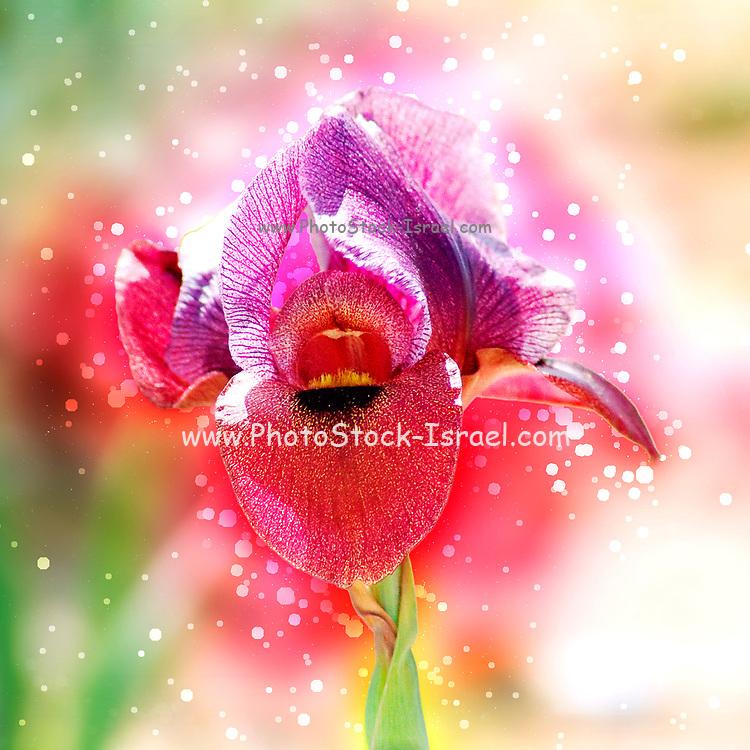 Digitally enhanced image of Iris petrana, (Petra Iris or Yeruham Iris) in natural habitat. Photographed in Israel, Negev near Yeruham