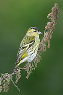 Siskin Carduelis spinus L 11-12cm. Recognised by broad yellowish bar on otherwise dark wings, yellow rump, and yellow sides to otherwise dark tail. Forms flocks outside breeding season. Sexes are separable. Adult male has yellowish green upperparts, streaked on back, and black cap and bib. Breast is flushed yellow-green but underparts are otherwise whitish with streaks on flanks. Note dark wings and yellow wingbars. Adult female is similar but duller, and lacks male's black cap and bib. Juvenile has similar wing and tail patterns to adult but plumage is otherwise streaked grey-brown. Voice Utters whistling or twittering, disyllabic calls. Song is a series of twittering phrases. Status Locally common. In breeding season, found mainly in conifer woodlands. In winter, favours mainly alder and birch woodlands.