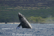 humpback whale, Megaptera novaeangliae, half breach or chin slap, Kona, Hawaii; caption must include notice that photo was taken under NMFS research permit #587