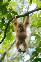 Bornean Orangutan <br />Wurmbii Sub-species<br />(Pongo pygmaeus wurmbii)<br /><br />juvenile male Benny (age approx 5) son of Beth.<br />Urinating<br /><br />Gunung Palung Orangutan Project<br />Cabang Panti Research Station<br />Gunung Palung National Park<br />West Kalimantan Province<br />Island of Borneo<br />Indonesia