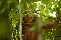 Adult female Walimah with one month old infant.<br />Close view of baby riding on mom's side while she feeds.<br /><br />Bornean Orangutan <br />Wurmbii Sub-species<br />(Pongo pygmaeus wurmbii)<br /><br />Gunung Palung Orangutan Project<br />Cabang Panti Research Station<br />Gunung Palung National Park<br />West Kalimantan Province<br />Island of Borneo<br />Indonesia