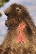 Africa, Ethiopia, Simien mountains, Gelada monkeys Theropithecus gelada The red patch on the chest can be seen