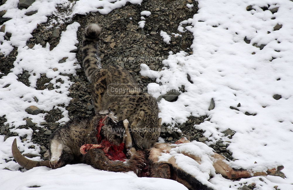LADAKH, INDIA - DECEMBER 2: Adult male snow leopard feeds on dead male blue sheep.
