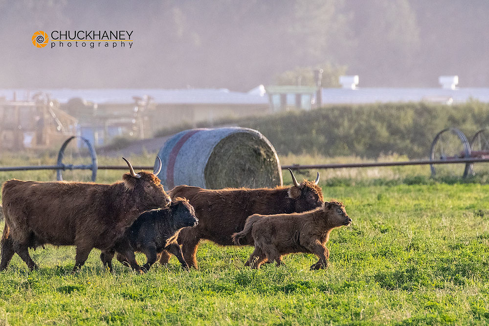 Scottish Highland beef cattle in the Flathead Valley, Montana, USA