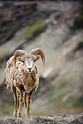 A Big Horn Sheep on the Going to the Sun Road in Glacier National Park, Montana. Missoula Photographer, Missoula Photographers, Montana Pictures, Montana Photos, Photos of Montana