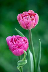 Tulipa 'Amazing Grace'