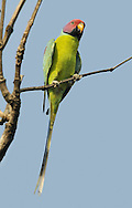 Plum-headed Parakeet - Psittacula cyanocephala
