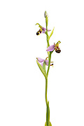 Field studio shot of Bee Orchids, Ophyrs apifera, growing on a meadow in Middleton Dale, Peak District