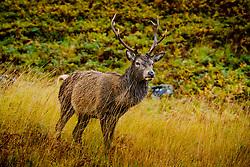 A red deer stag in Glen Etive, Highlands of Scotland<br /> <br /> (c) Andrew Wilson | Edinburgh Elite media