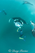 manta researcher Guy Stevens takes photos of unique individual markings used to identify manta rays, Manta alfredi (formerly Manta birostris ) that are feeding on plankton in Hanifaru Bay, Baa Atoll, Maldives ( Indian Ocean ); Roger Munns films in background