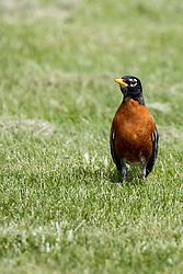 American Robin (Turdus)