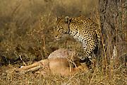 Leopard ((Panthera pardus) feeding on Impala<br /> Moremi Game Reserve, Okavango Delta<br /> BOTSWANA<br /> RANGE: Sub-Saharan Africa. Fragmented populations in Pakistan, India, Sri Lanka, Indochina, Malaysia, and China.<br /> IUCN: Near Threatened